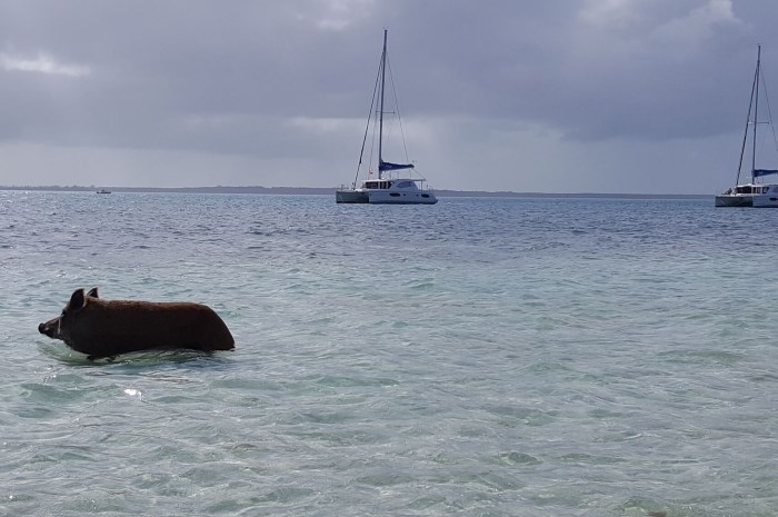 Blog11-Colgate-Offshore-Sailing-Adventures-Bahamas-pig-in-water_700x465